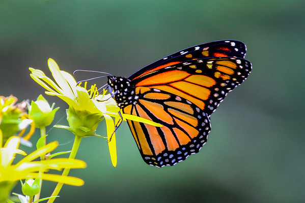 The Monarchs of Summer   5