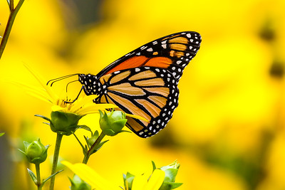 The Monarchs of Summer   2