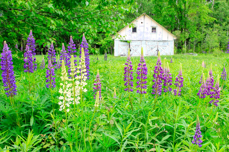 Lovely Lupines 1