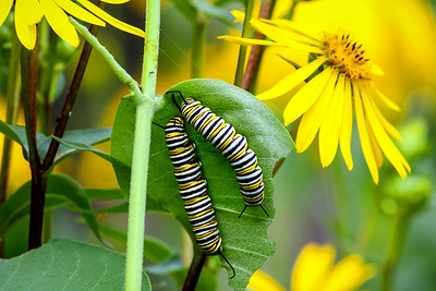 Monarch Caterpillars   1