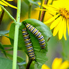 Monarch Caterpillars   1