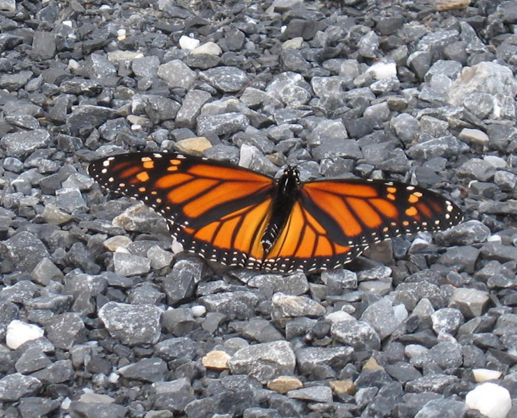 Butterfly in the driveway, Shaftsbury, Vermont.