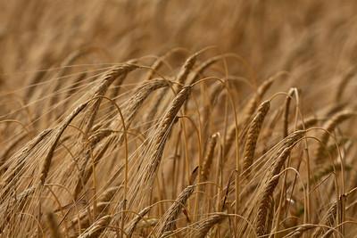 Ripened barley