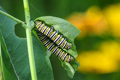 Monarch Caterpillars   2