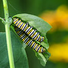 Monarch Caterpillars   2