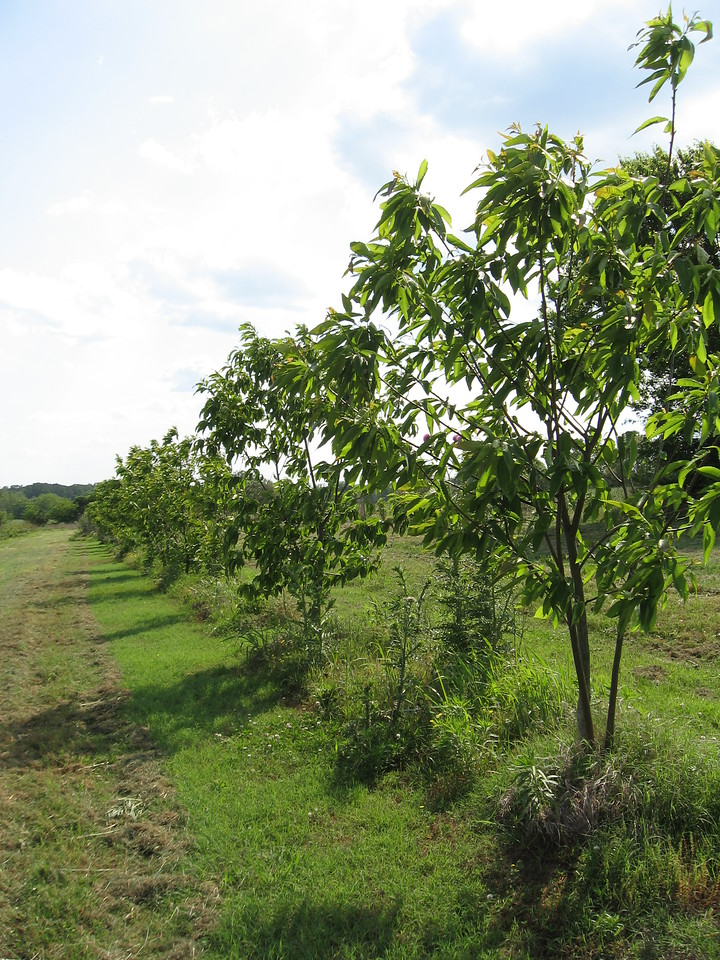 A guard row of B2F2 grafted American chestnuts in Tennessee, within a hybrid experiment planting for a nut orchard.