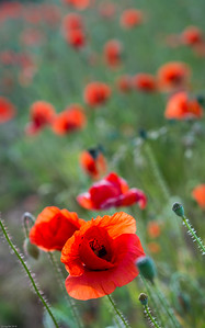 Klatschmohn / Corn poppy
