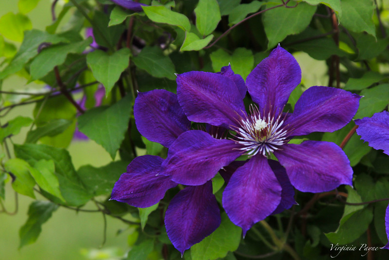 Close-ups of the clematis.