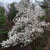 White magnolia - in full bloom by mid-April.