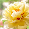 Bartzella is an Intersectional Peony which grows in our garden. It's blooms are large, beautiful,  lemon yellow with brilliant red flares and colorful sramens. It is a tall peony reaching about 4 feet in our garden.