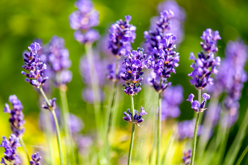 Close-up Image of Lavender 'Hidcote Blue' in our Garden