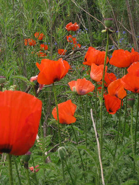 Later June Poppies in Boulder Canyon, CO