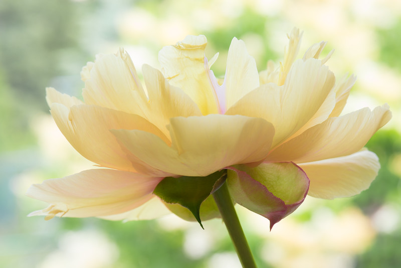 Close-up  Image of P. 'Garden Treasure'