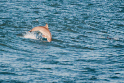 Emerald Isle Dolphins2
