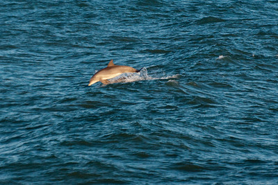 Emerald Isle Dolphins1