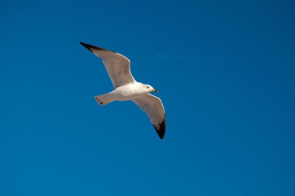 Emerald Isle Seagull