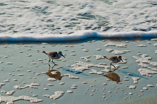 Hilton Head Sand Pipers
