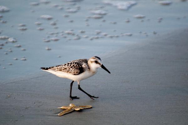 Hilton Head Sand Piper