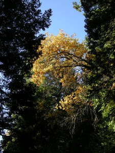 Just around the bend, one of the showy golden oaks. Norm said they had been far less bright just a few days prior.