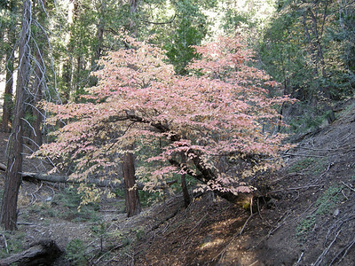 A marvelously luminous dogwood along the western road, driving back to Bakersfield. The trail to Sunday Peak is about two miles long.