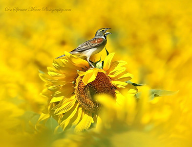 Dickcissels love sunflowers, They are in every field we encountered. Not just your most beautiful bird, but they sing a great song.