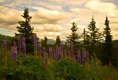 Lupine, Alaska, Flowers 2