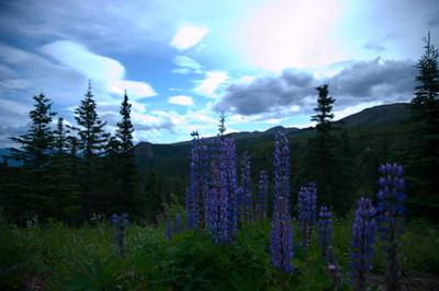 Lupine, Alaska, Flowers 3