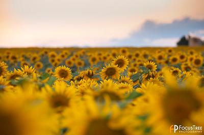 SunflowersB-10