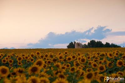SunflowersB-11