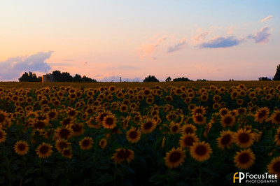 SunflowersB-14