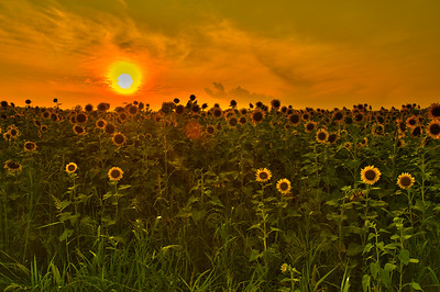 Sunflowers3_HDR2