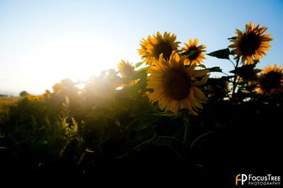 SunflowersB-3