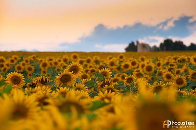SunflowersB-12