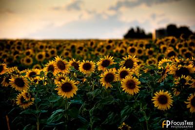 SunflowersB-6