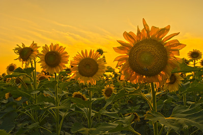 Sunflowers_HDR2