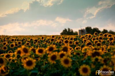 SunflowersB-5