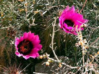 Prickly Pear Cactus Flowers, Havasu Canyon, AZ