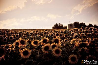 SunflowersB-15