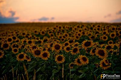 SunflowersB-8