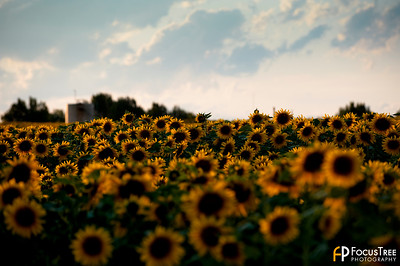 SunflowersB-4