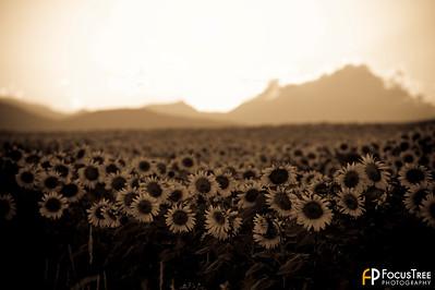 SunflowersB-9