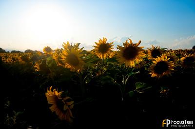 SunflowersB-2