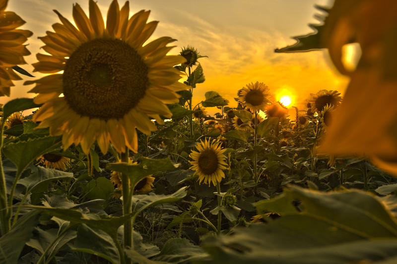 Sunflowers2_HDR2