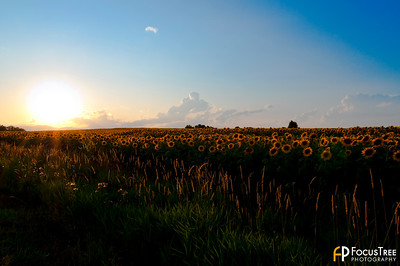 SunflowersB-1