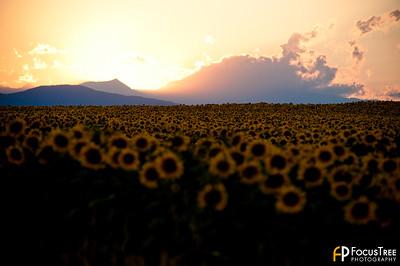 SunflowersB-7