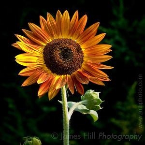 Sunflowers-2822.jpg