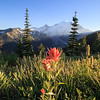 Indian Paintbrush at Sunrise Point, Mt. Rainier National Park