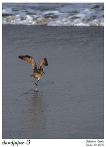 A sandpiper.  Taken at Pacifica State Beach, 10 October 2010.