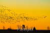 The morning rush hour  ---  places to go, and things to do!<br /> Blackwater NWR, Maryland
