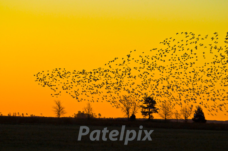 The evening rush hour  ---  Heading Home<br /> Blackwater NWR, Maryland, 2009